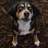 TAZ (beagle mix boy)_2