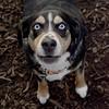 TAZ (beagle mix boy)_1