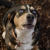 TAZ (beagle mix boy)_3