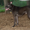 SHADOW (pit pup)_5