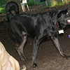 DANTE (black lab boy)_7