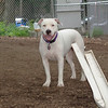 Powder (white pitbull girl)_1