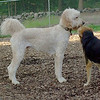 Bailey (goldendoodle), Maddie_1
