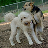 Bailey (goldendoodle), Maddie_2