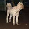 BAILEY (goldendoodle)_4
