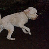 BAILEY (goldendoodle)_1