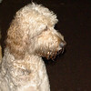 BAILEY (goldendoodle)_5