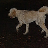 BAILEY (goldendoodle)_2