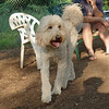 BAILEY (goldendoodle)_00002