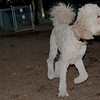 BAILEY (goldendoodle)_00001