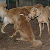 atlas, sheila, charley (dingo)_00001
