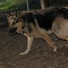 Buddy (shepherd, visit)_00001
