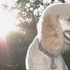 ETHEL (poodle)_00002