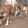 buddy (boxer, Bubba, Buddy (bulldog)_00001