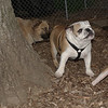 Buddy (bulldog pup)_00001