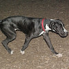 Cassius (great dane pup)_00001