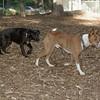 Brandy (puppy), Shamus (basenji)_00001