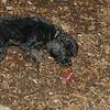 ABBY (cockapoo pup)_00002