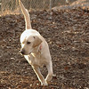 COLBY (yellow lab)_00001