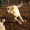 COLBY (yellow lab)_00002