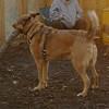BUDDY (shepherd)_00006