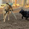 Buddy (new), Buddy (shepherd)_00001