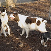 CHLOE (b&w), Brandy (spaniel), BRUISER (puppy)