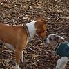 BRUISER (puppy) & CHLOE (basenji pup)