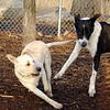 BAILEY (yellow lab pup) & CHLOE (b&w).