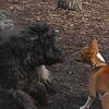 NEMO  (girl labradoodle), CHLOE (basenji pup).