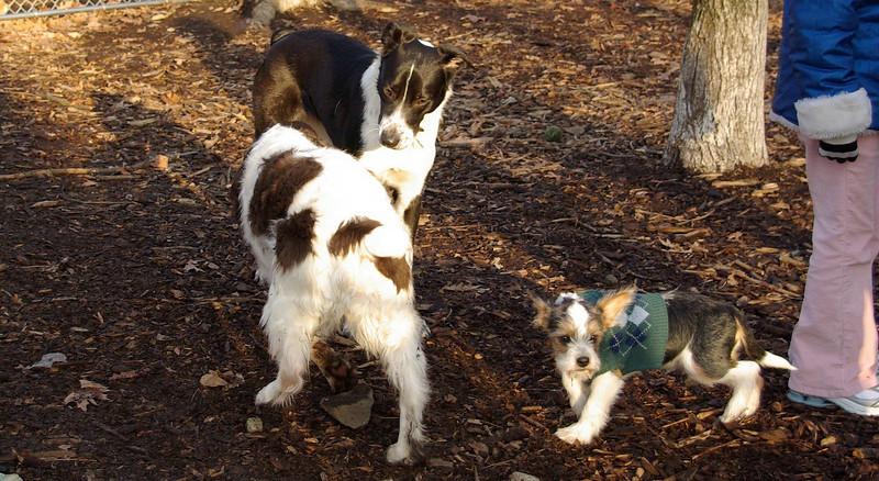 CHLOE (b&w), Brandy (spaniel), BRUISER (puppy