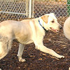BAILEY (yellow lab pup)