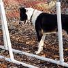 CHLOE (b&w) & BRUISER (puppy)