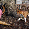CHLOE (basenji pup) & Faith