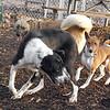 CHLOE (b&w) & CHLOE (basenji pup), ROBIN