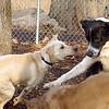 BAILEY (yellow lab pup) & CHLOE (b&w)