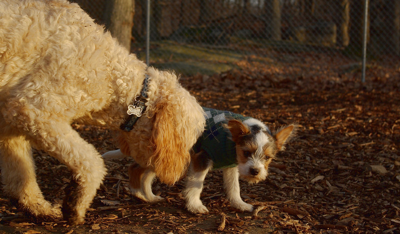 BRUISER (PUPPY) & BAILEY (goldendoodle)