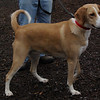GINGER (hound) 2