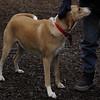 GINGER (hound) 3