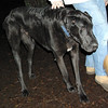 HARLEY (great dane) 3.