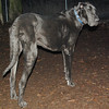 HARLEY (great dane)