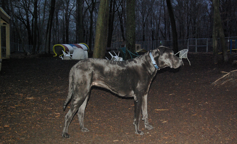 HARLEY (great dane) 2