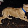 MAX (maxx, 4 month ridgeback) 5