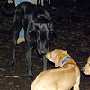 max (maxx, ridgeback pup) , Harley (great dane)