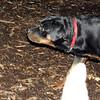EUBIE (rottweiler pup) 3