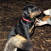 EUBIE (rottweiler pup) shake 2