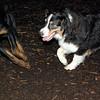 OLIVER (aussie pup) & EUBIE (rottie pup)