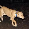 MAX (maxx, 4 month ridgeback) 6