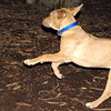MAX (maxx, 4 month ridgeback) 4