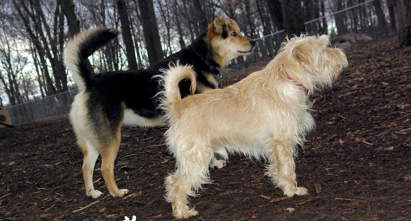 ANDY (cairn) & MADDIE.
